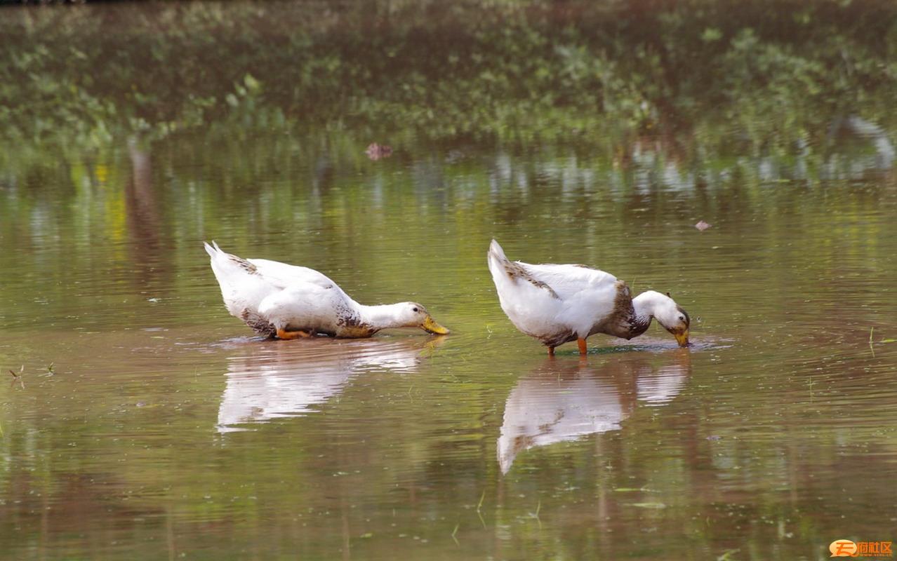 2水暖鸭先知.jpg