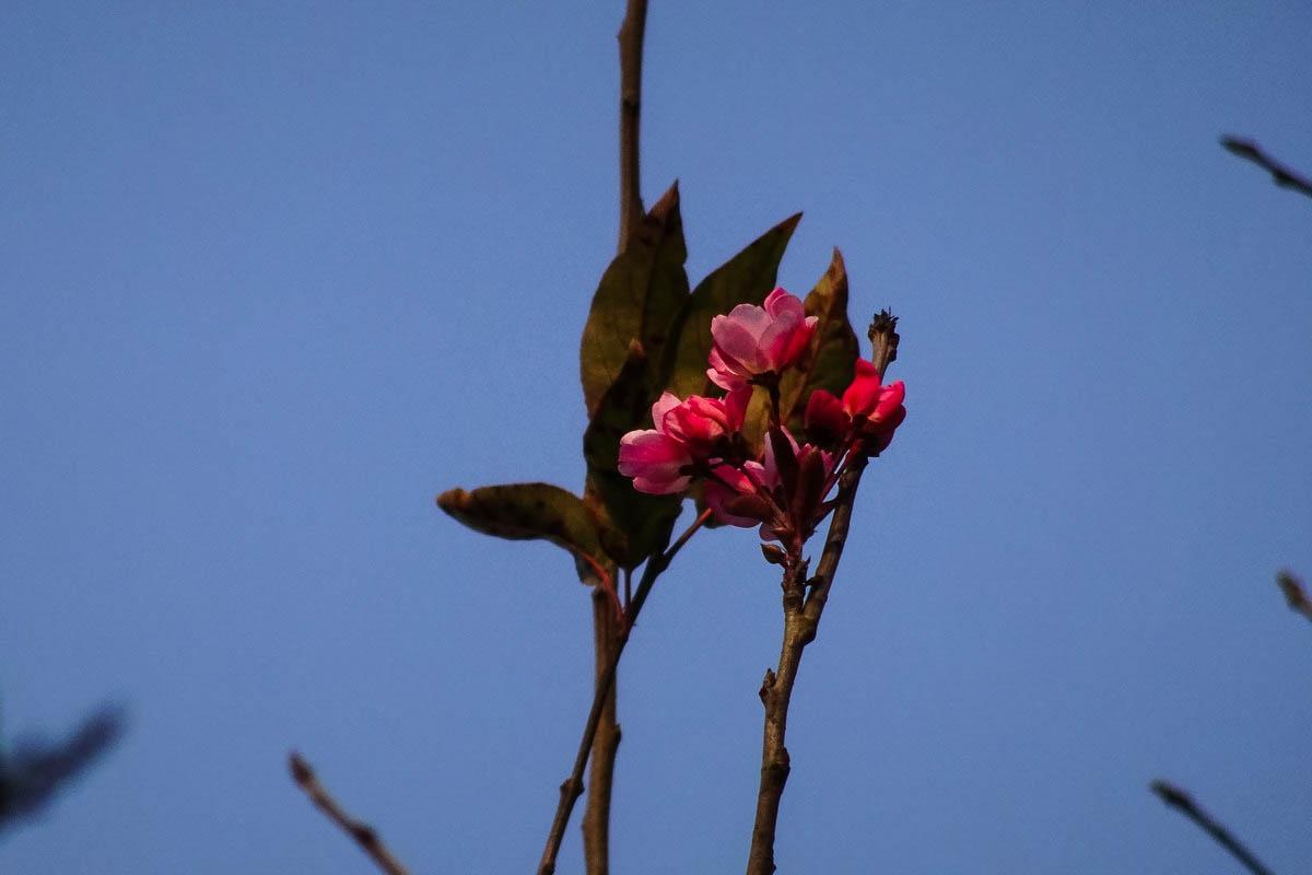 【迎新年】海棠花开迎新年
