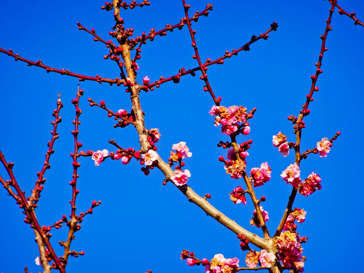 【大寒】红梅花开 新春到来