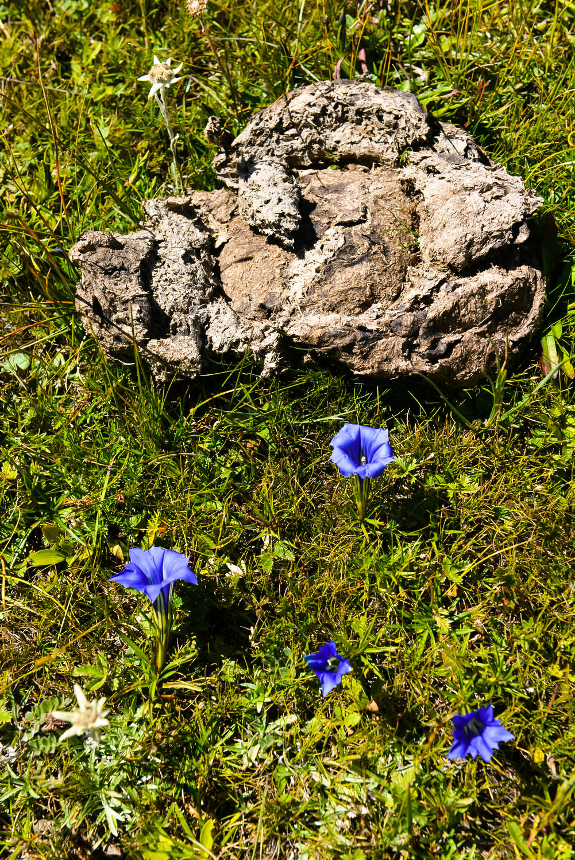 【川西高原】鲜花插在牛粪上—献给三八妇女节