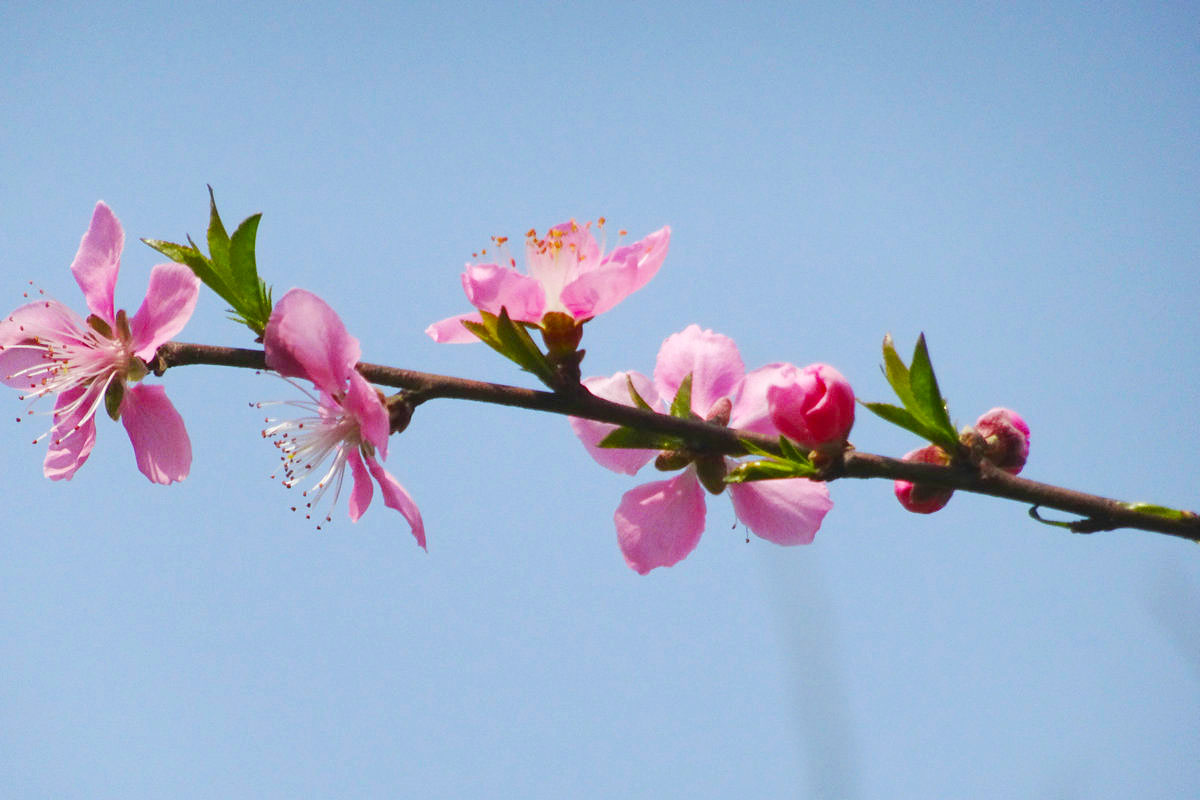 【春光无限】桃花依旧笑春风