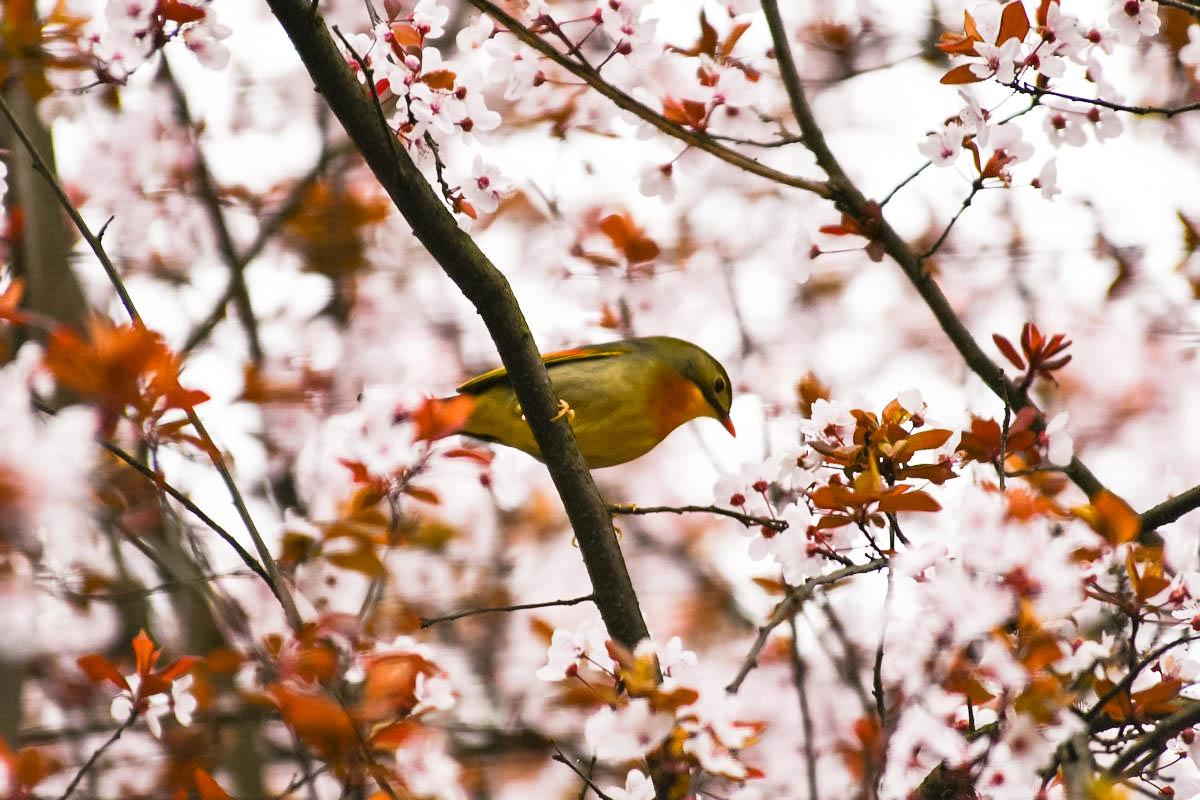 【鸟趣】相思鸟与海棠花