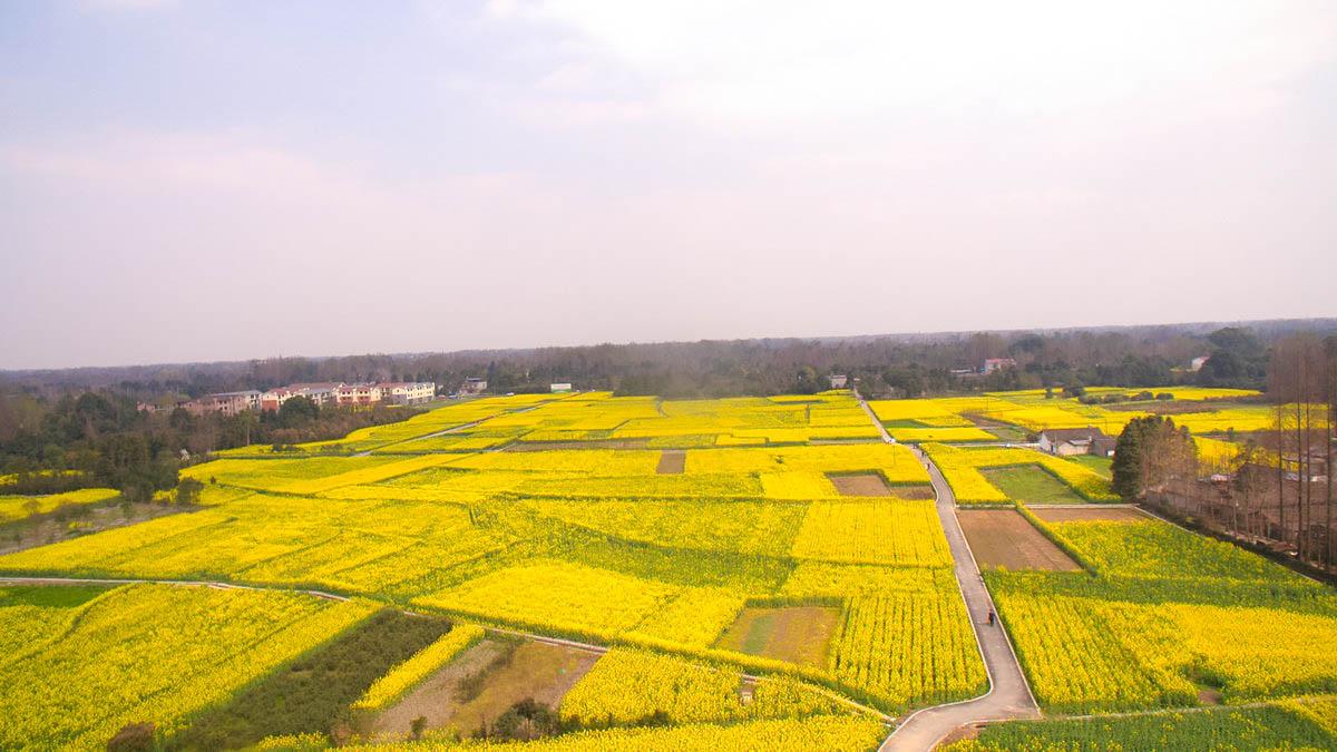 【春光无限】俯瞰万亩油菜花田
