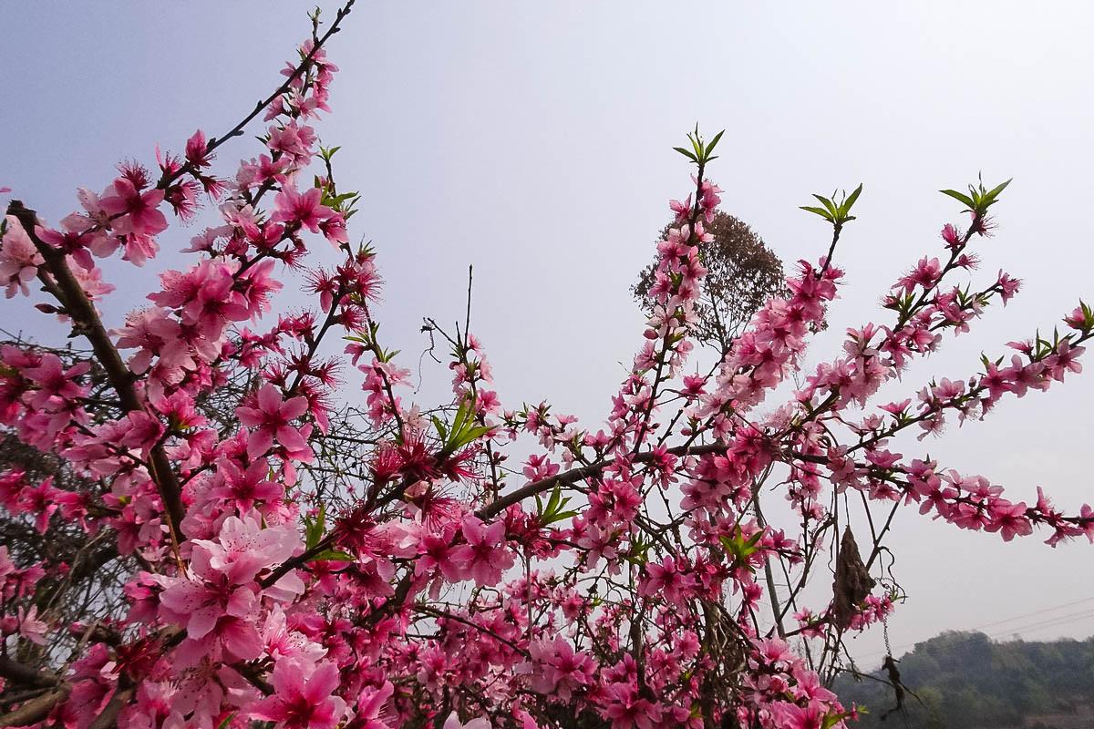 【春光无限】春色关不住 花满黄龙溪