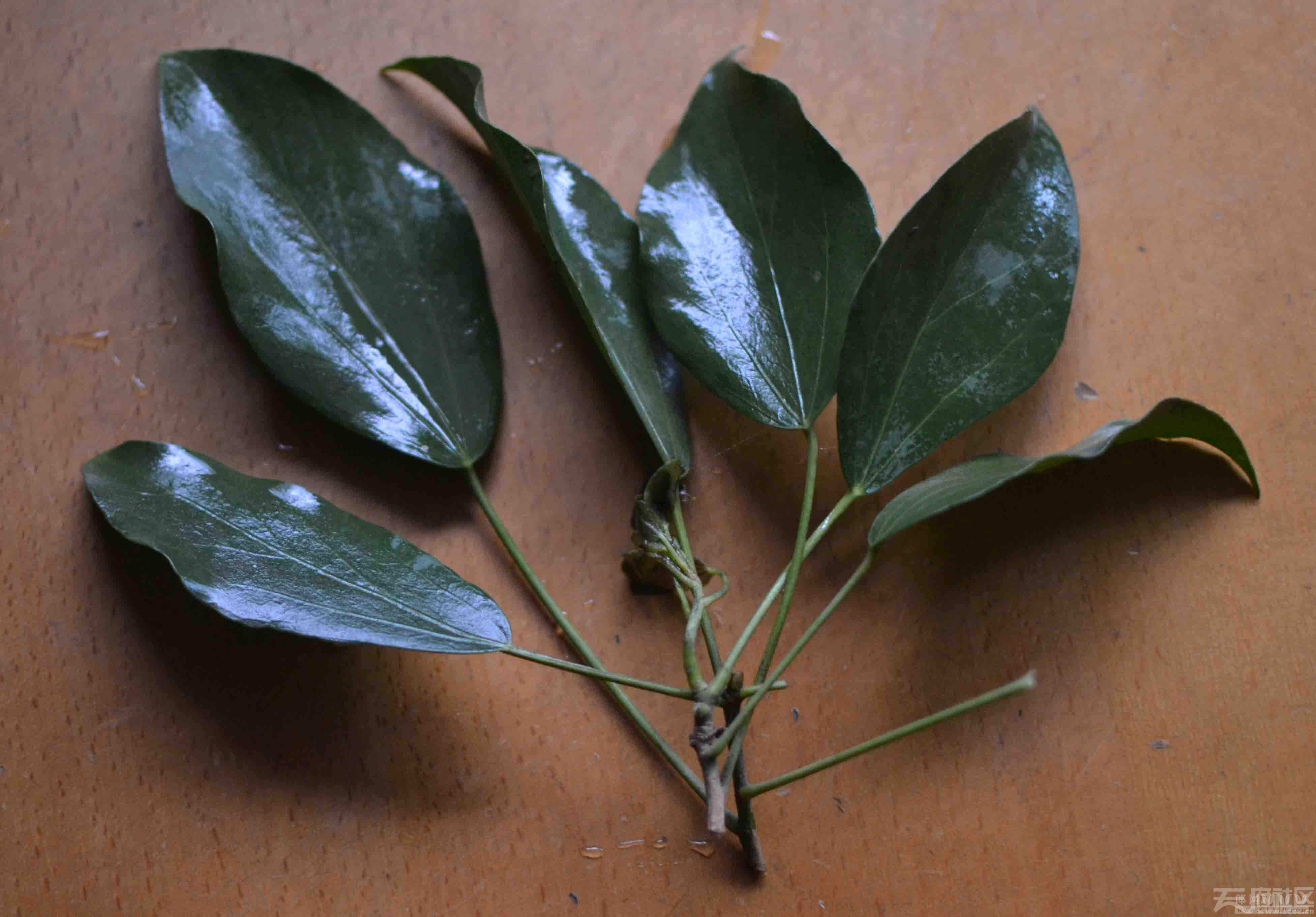 """图1、""""仙人藤""""或""""长生树""""常年绿叶,叶脉三根叶脉。叶片长约8公分,宽3公分,打腊.jpg"""