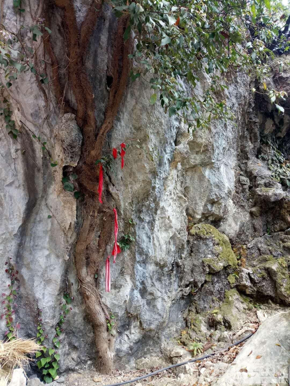 """图3""""仙人藤""""有上百年树龄,藤类植物,杆周密布猕猴桃颜色色毛须约1-2公分长图4、仙.jpg"""