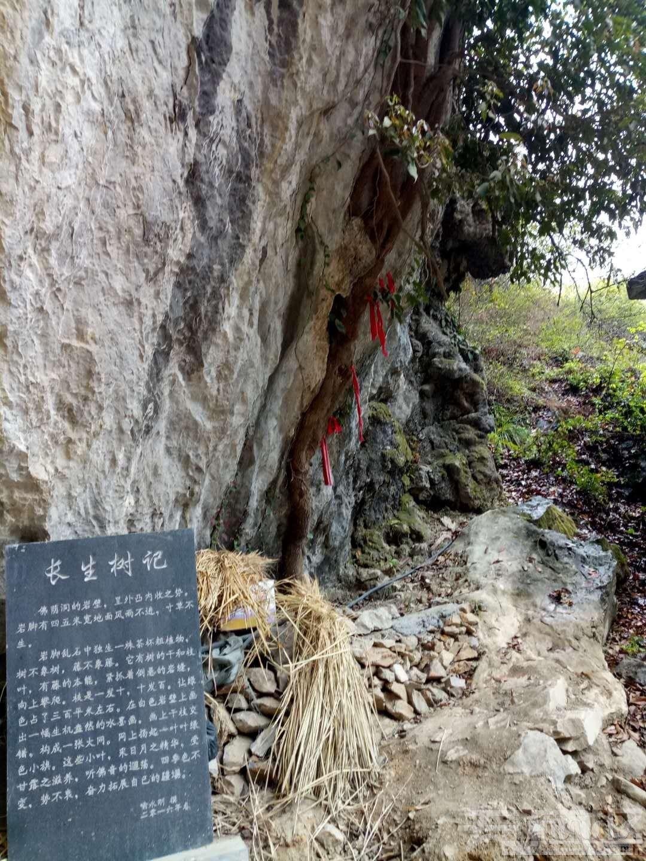 图4、仙人藤下立有长生树大理石碑p.jpg