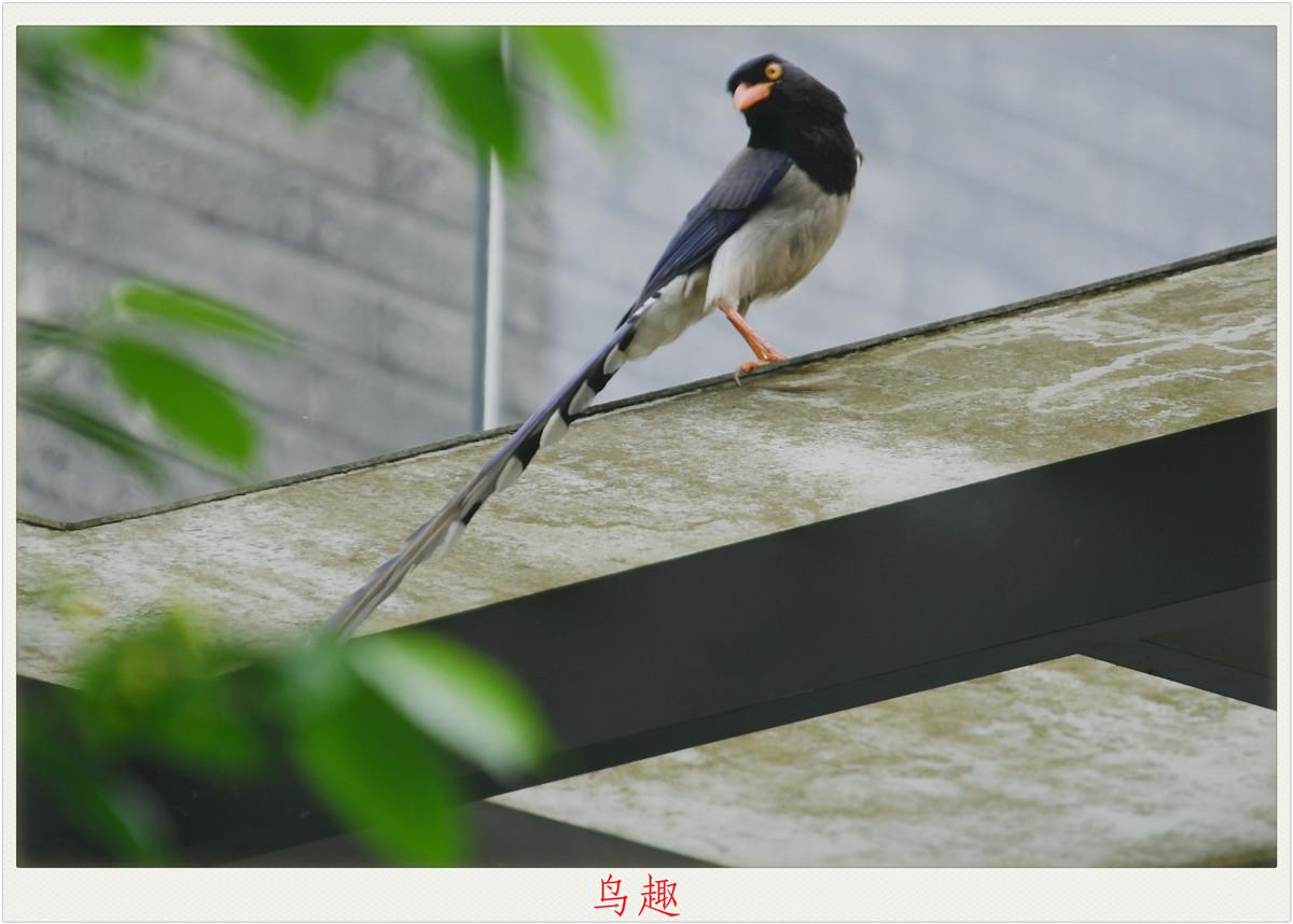 【鸟趣】骄傲的红嘴蓝鹊