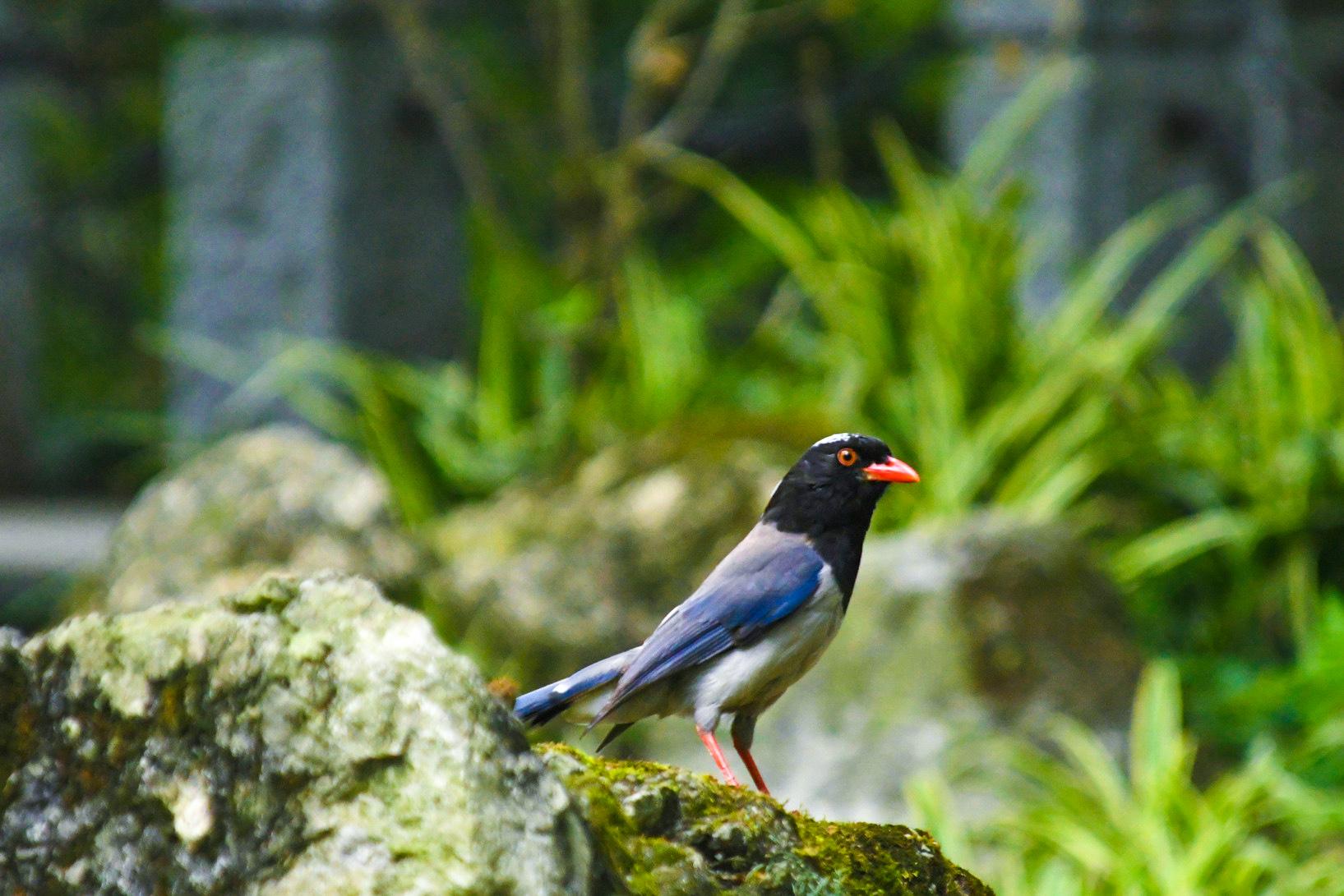 【鸟趣】天地间的红嘴蓝鹊鸟