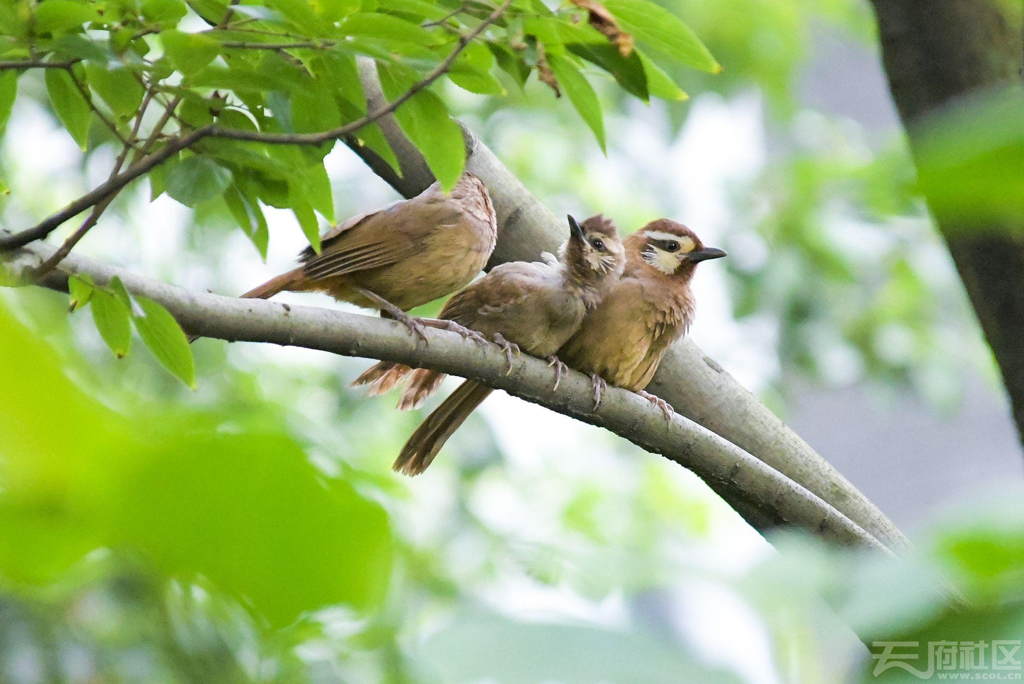 【鸟趣】土画眉鸟一家