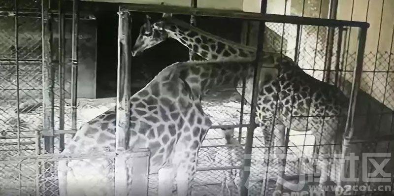 动物世界国庆出生小长颈鹿首照曝光