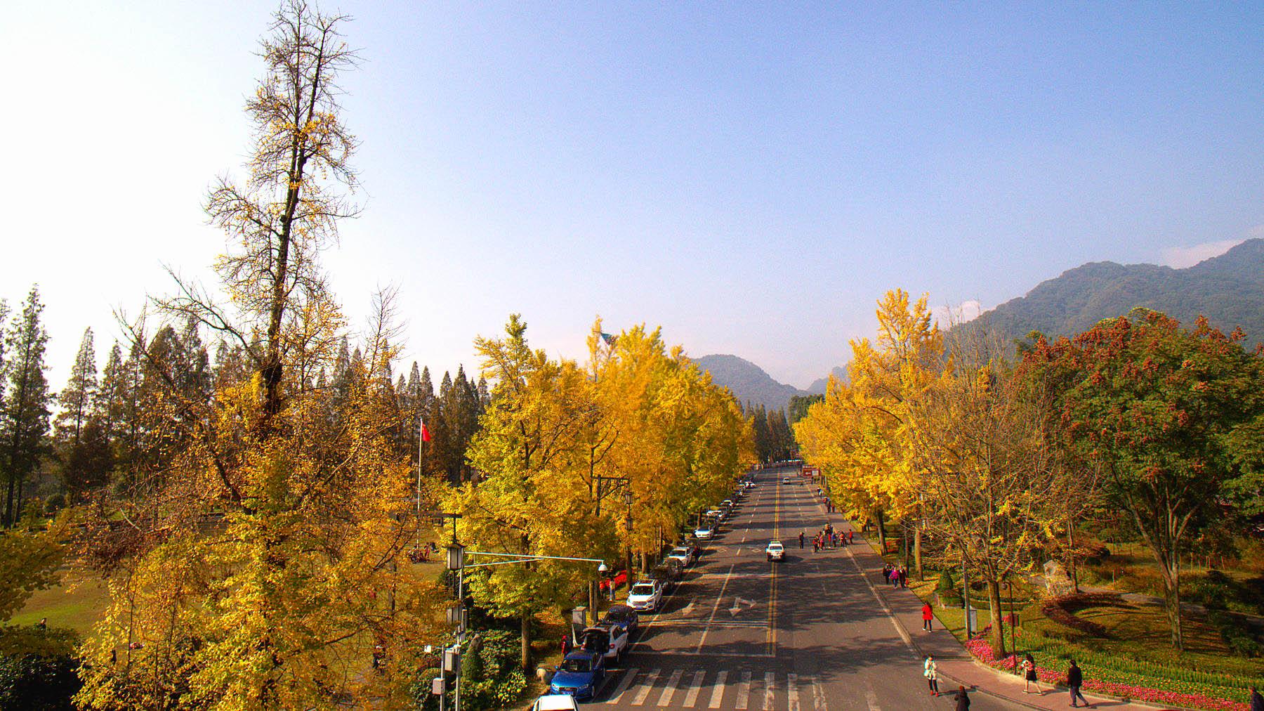 #航拍# 青城山银杏大道的金黄世界