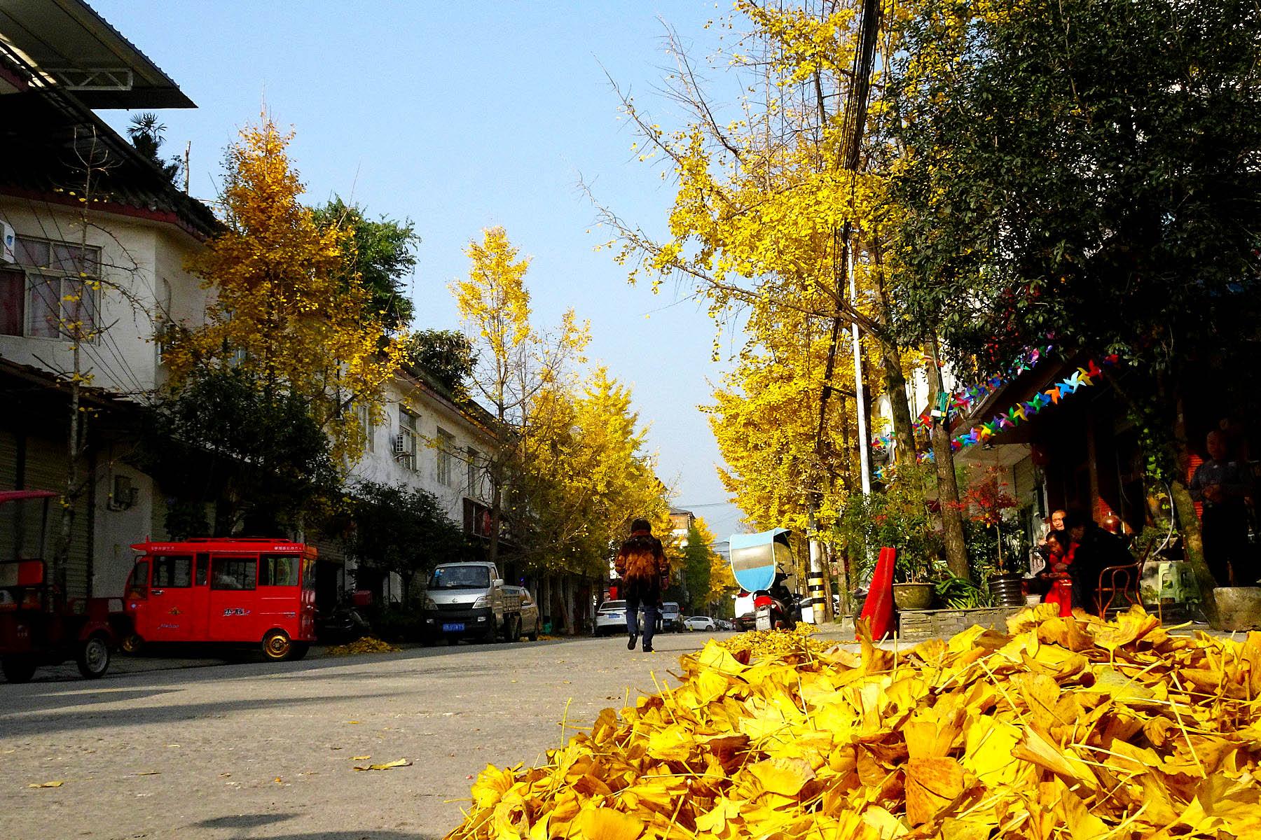 街子银杏黄啦!
