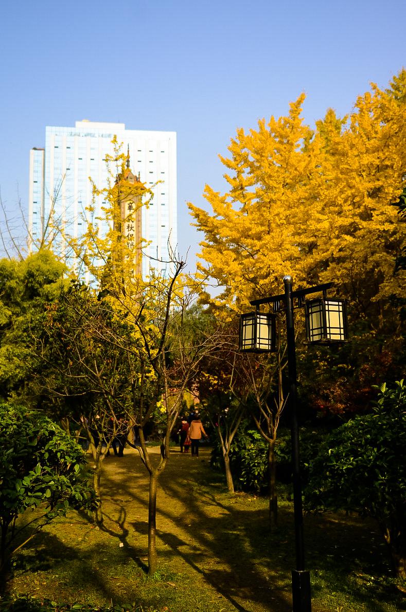 菊花谢幕 银杏登台
