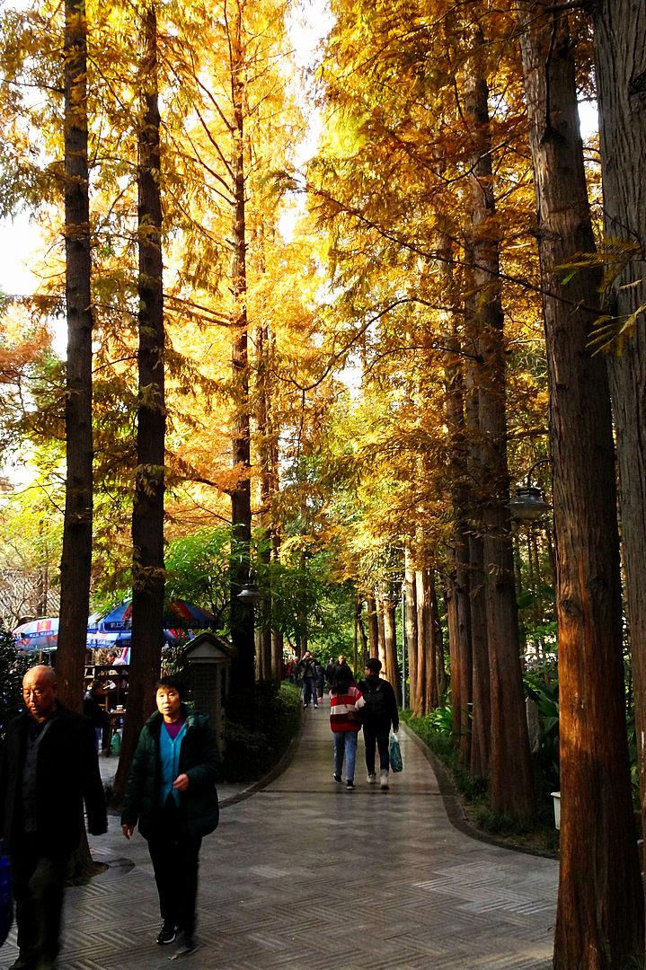 水杉树的情怀