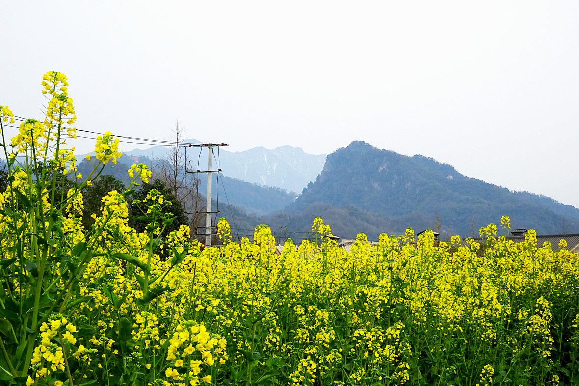 太平场老街菜花黄