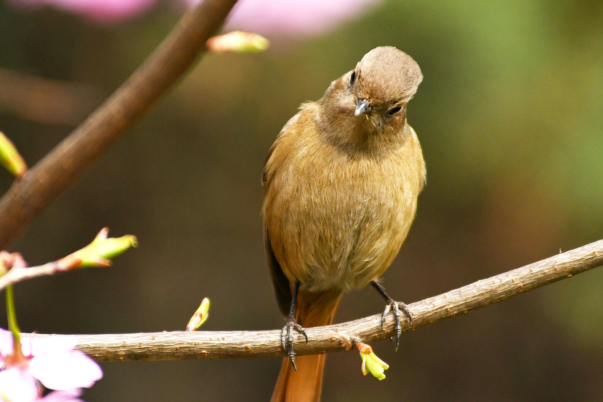 #鸟趣# 蓝额红尾鸲鸟