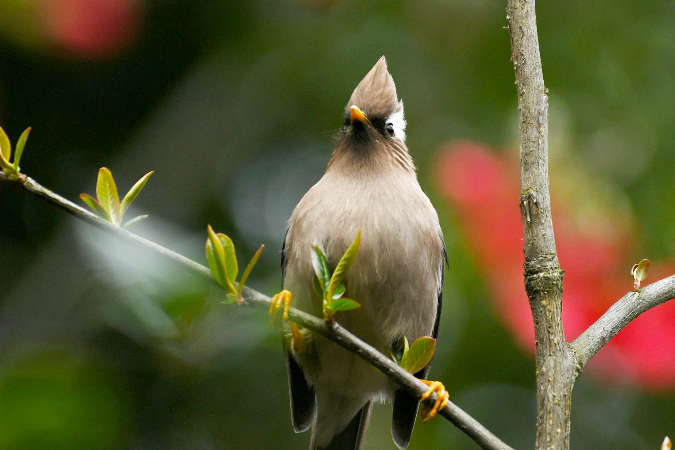 鸟趣# 美丽的白领凤鹛鸟