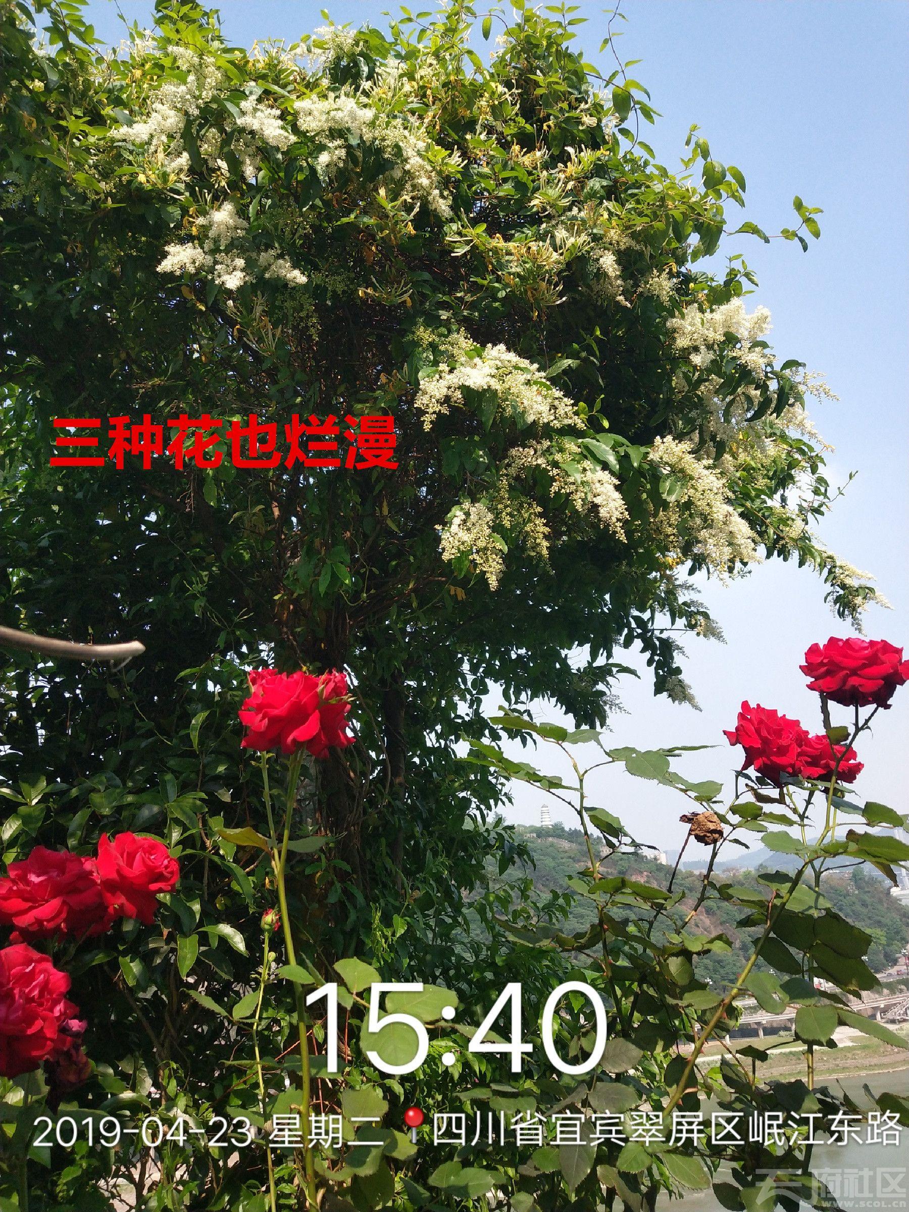 2019_04_23_15_40_29_三种花也烂漫.jpg
