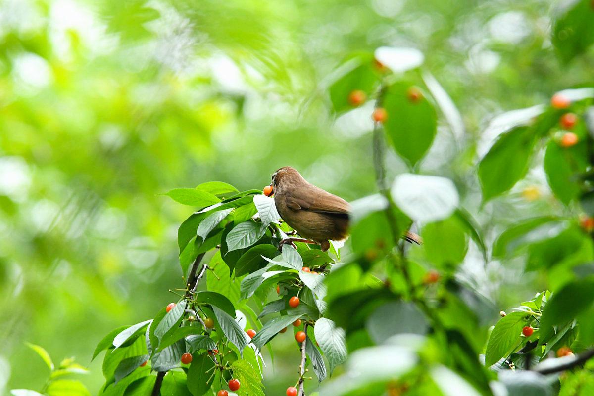 #鸟趣#樱桃树上的白颊噪鹛