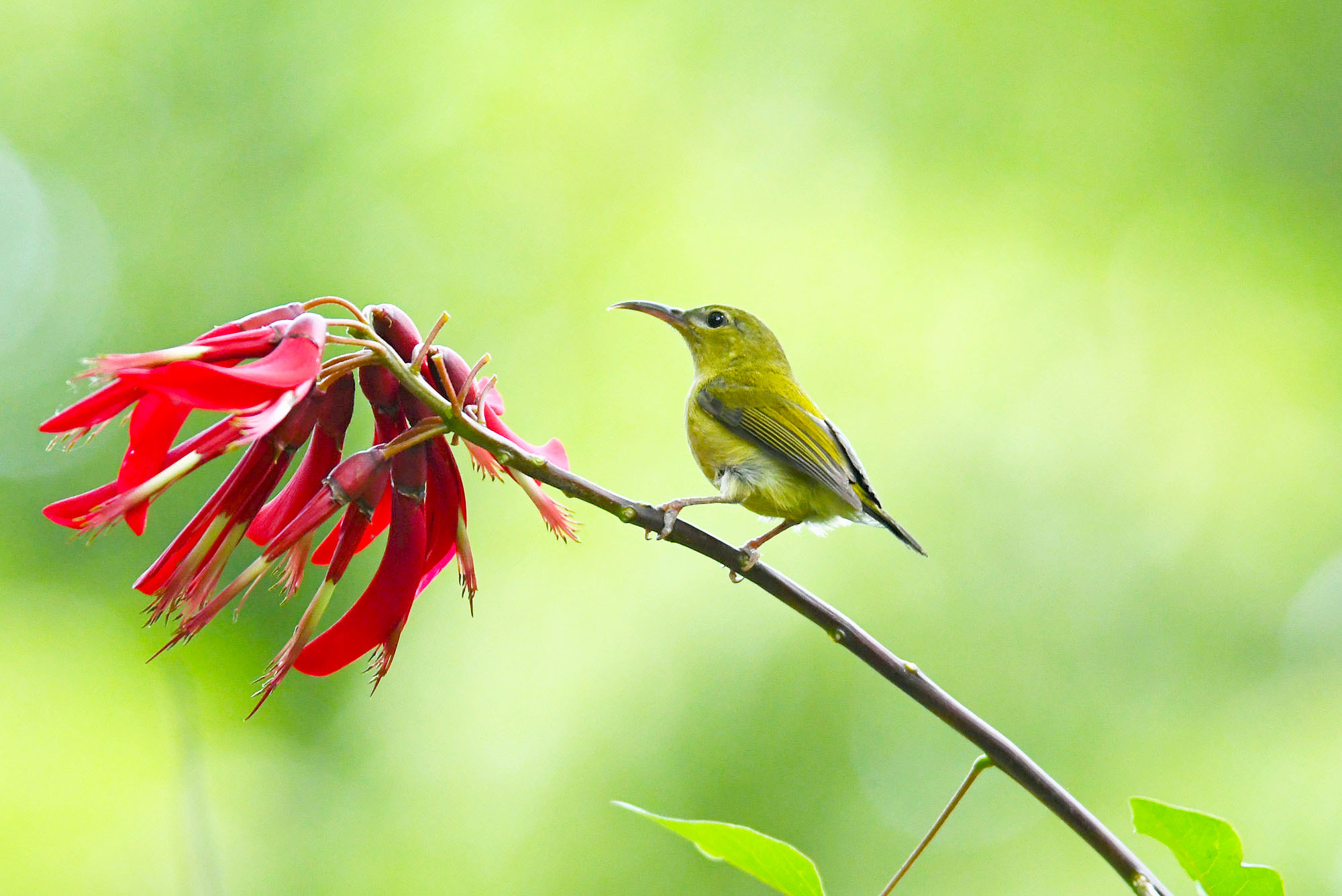 【鸟趣】雌太阳鸟