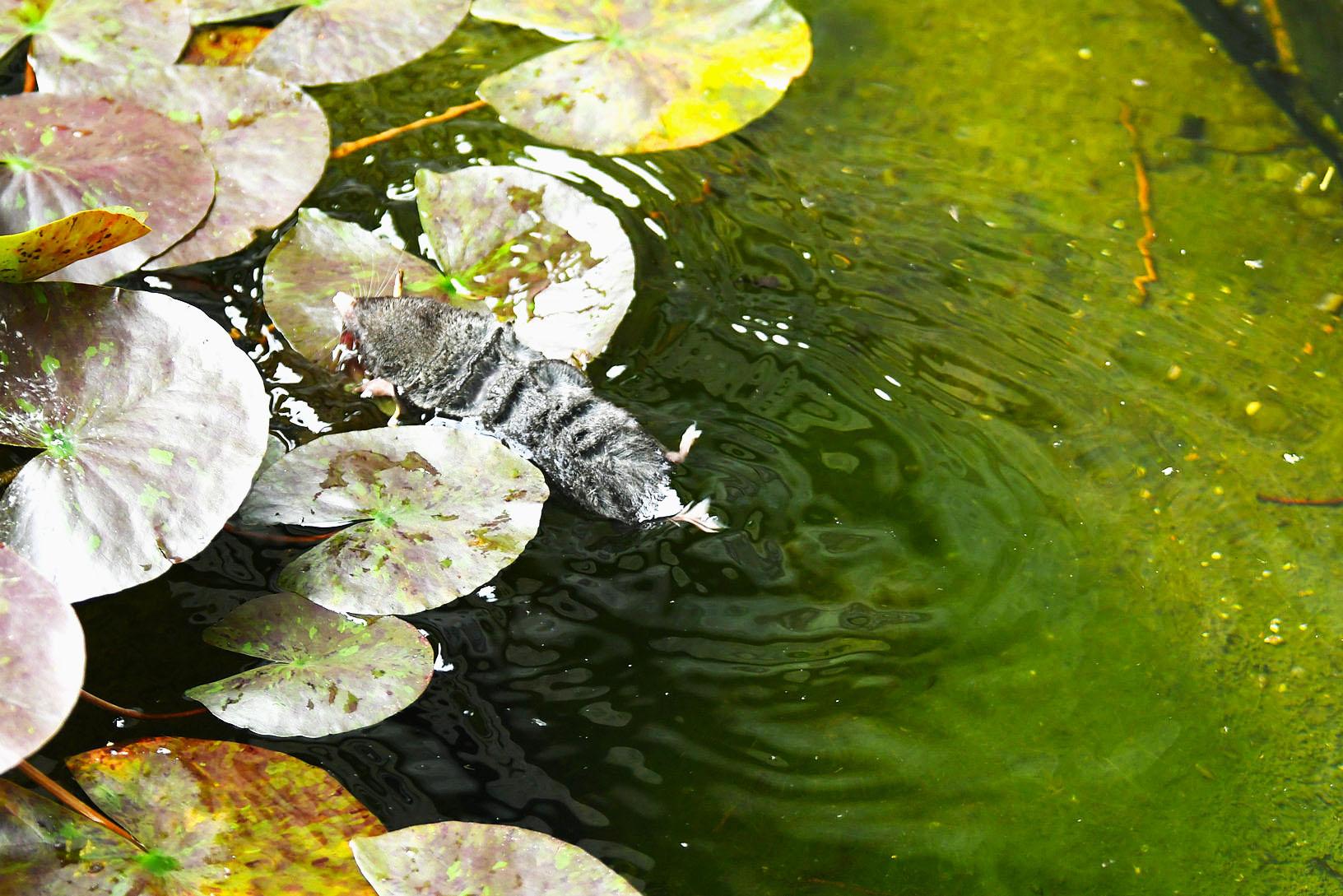 【生态摄影】田鼠的诺亚方舟