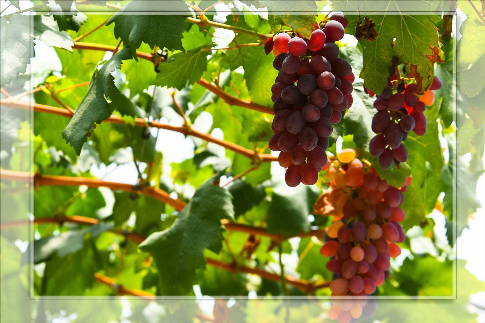 大邑蓝藤谷的葡萄熟了