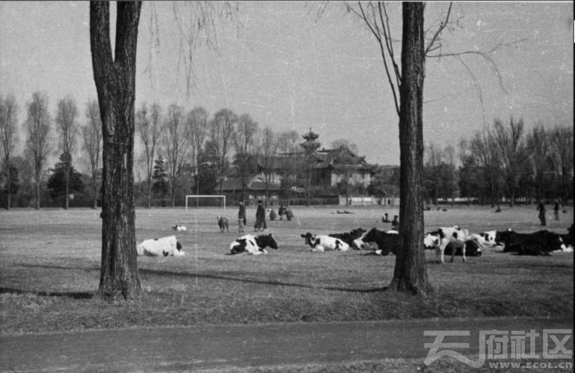 73 华西大学  足球场上的奶牛 ca.1939.JPG