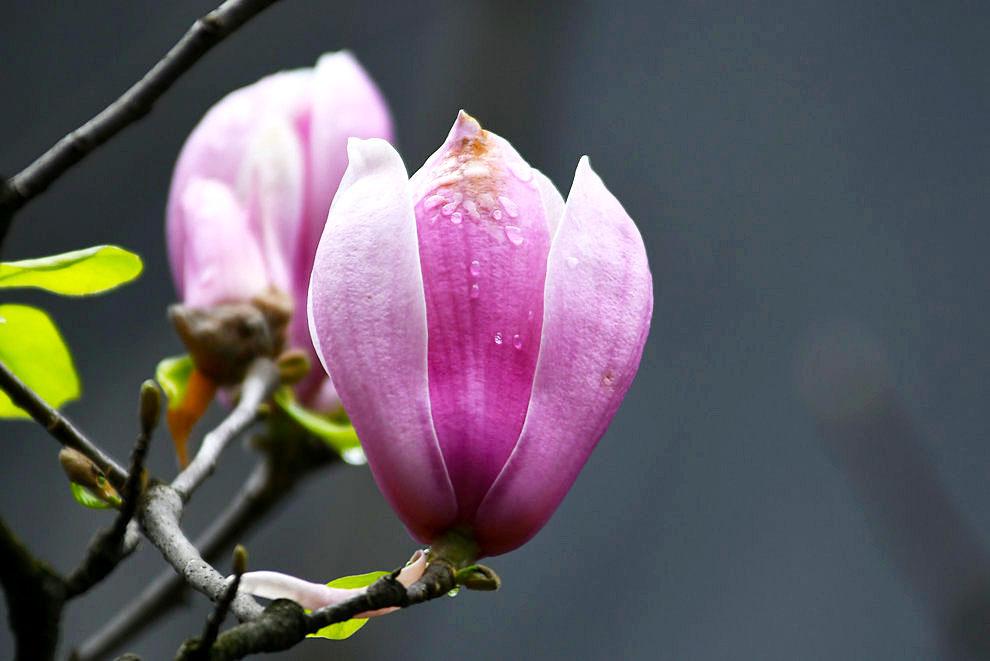 阳春三月】粉玉兰花开