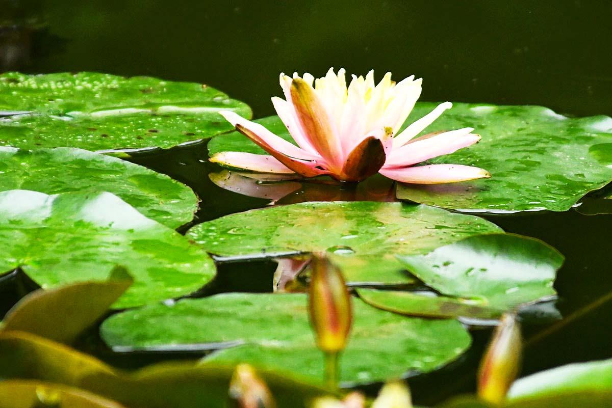 【五月天】睡莲朵朵开(2)