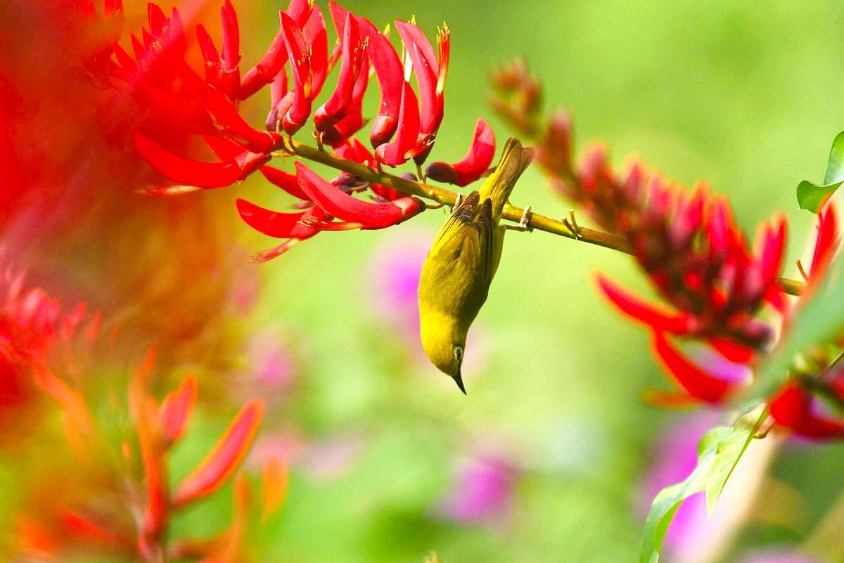 【五月天】绣眼鸟的最爱-象牙红花