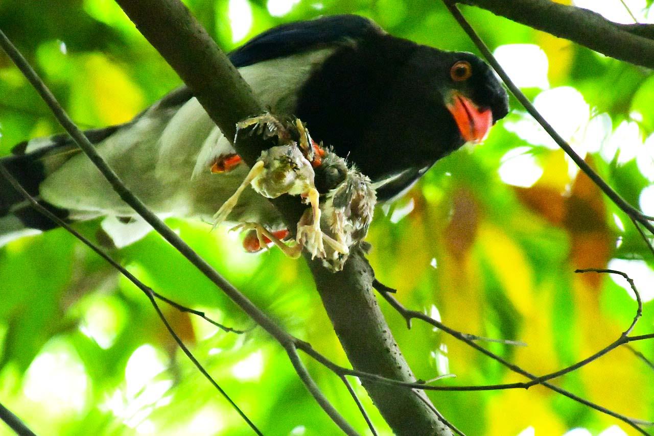 【六月天热】爱吃小鸟的红嘴蓝鹊鸟