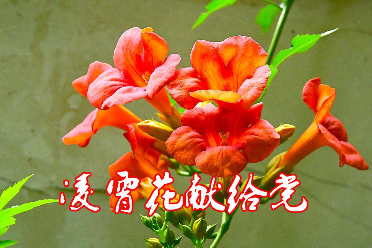 【党的生日】凌霄花献给党