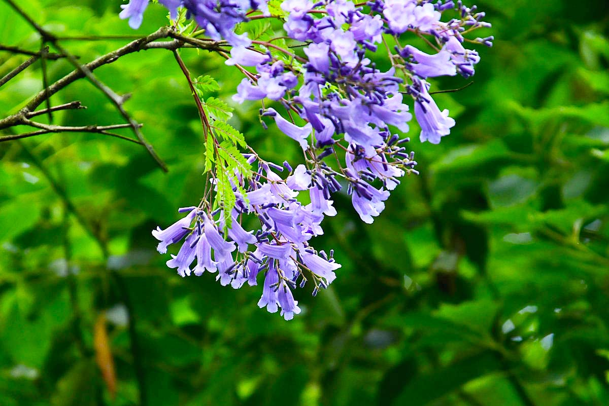 七月天】蓝花楹花盛开