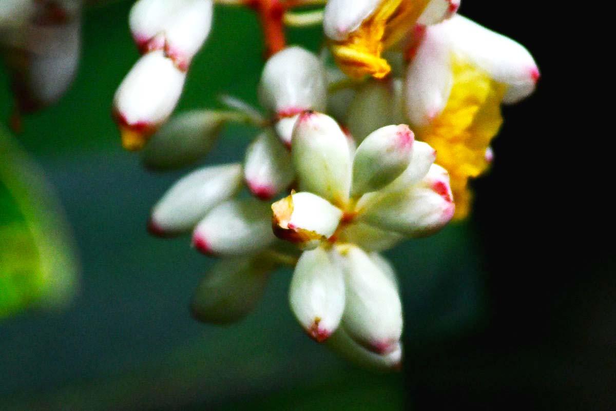 山姜,中药名。山姜植株丛生,也大色绿,其花、果实艳色,十分艳丽。可作为插花材料,具有很高的观赏价值。 ...