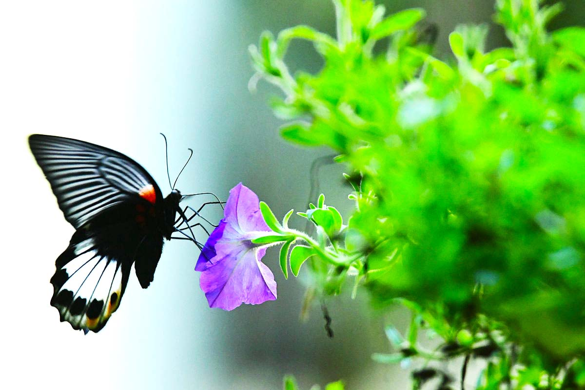 【七月天】彩蝶纷飞