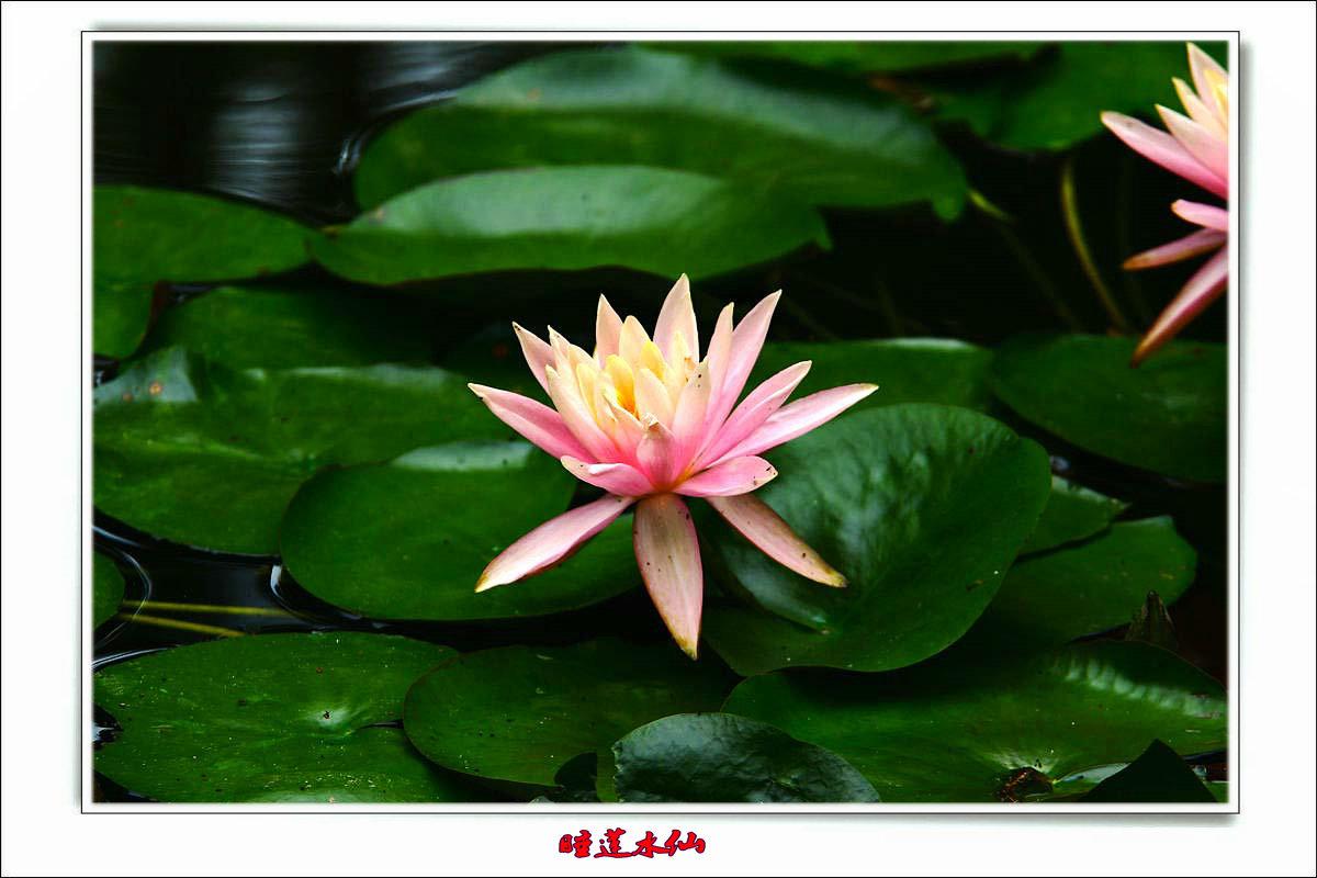 【七月天】睡莲水仙