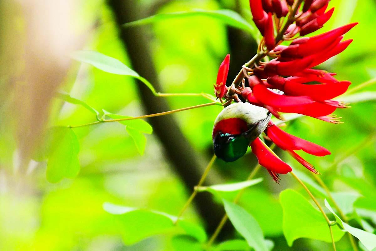 象牙红花今年第二波盛开,又成为叉尾太阳鸟的最爱。不过我还是喜欢拍公太阳鸟,因为它的羽毛特别艳丽,金光 ...