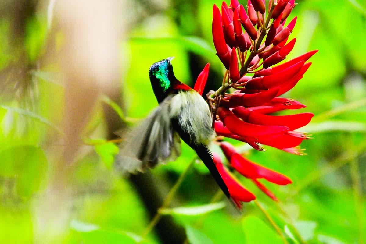 【七月天】叉尾太阳鸟的喜爱