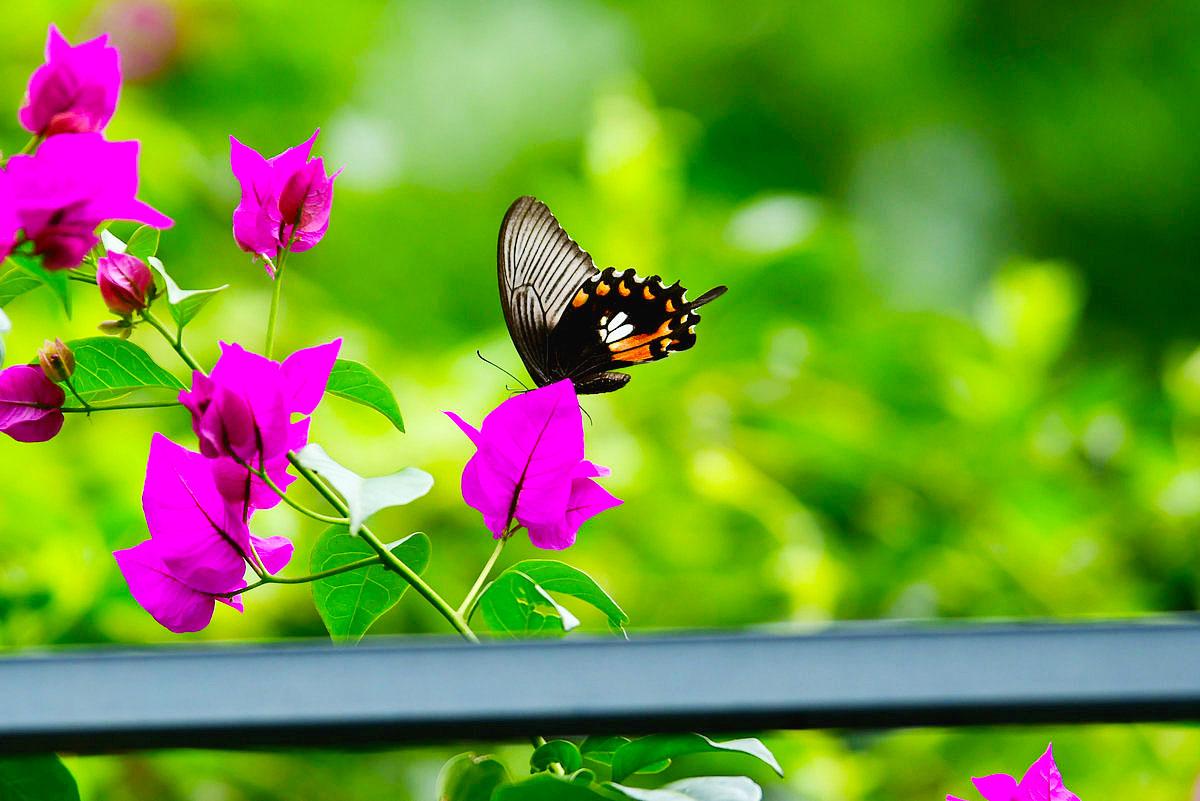 【八月行】蝴蝶纷飞