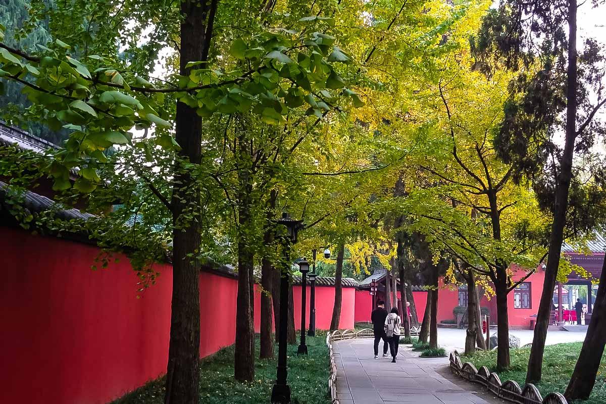 初冬的红墙银杏