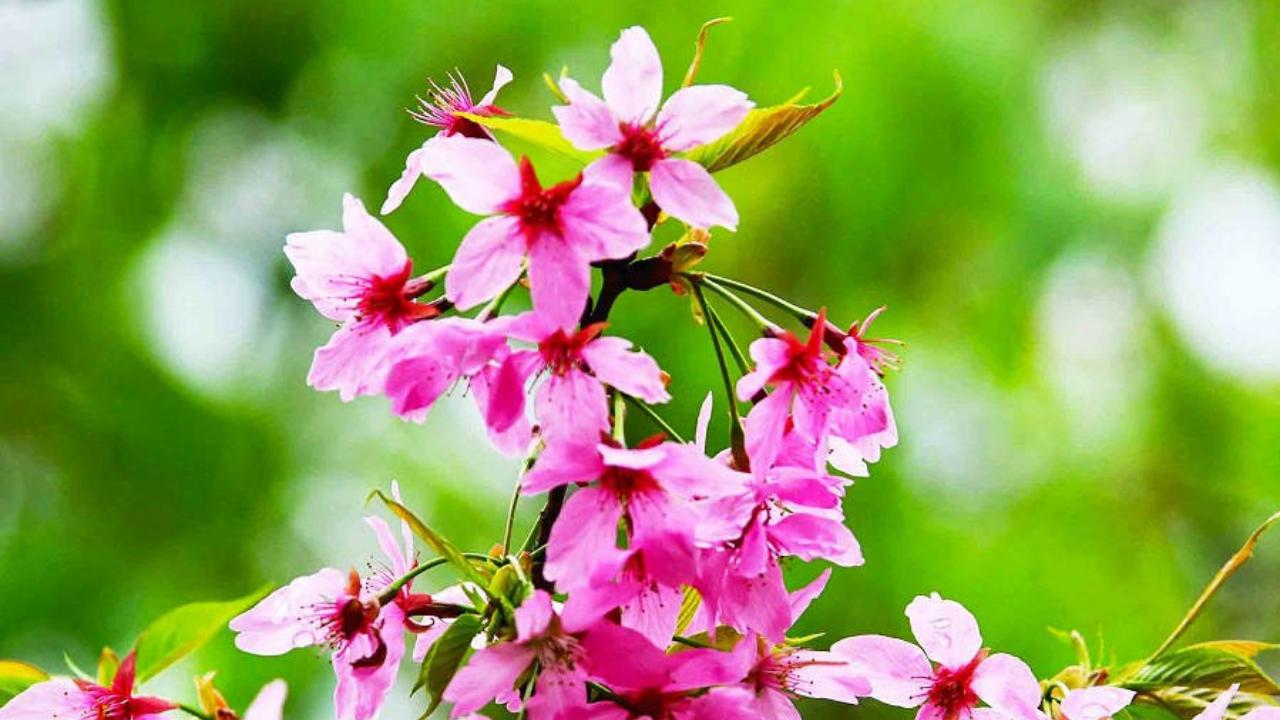 【惊蛰】广州早樱花盛开