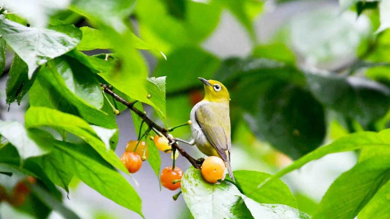 樱桃树上的小绣眼鸟
