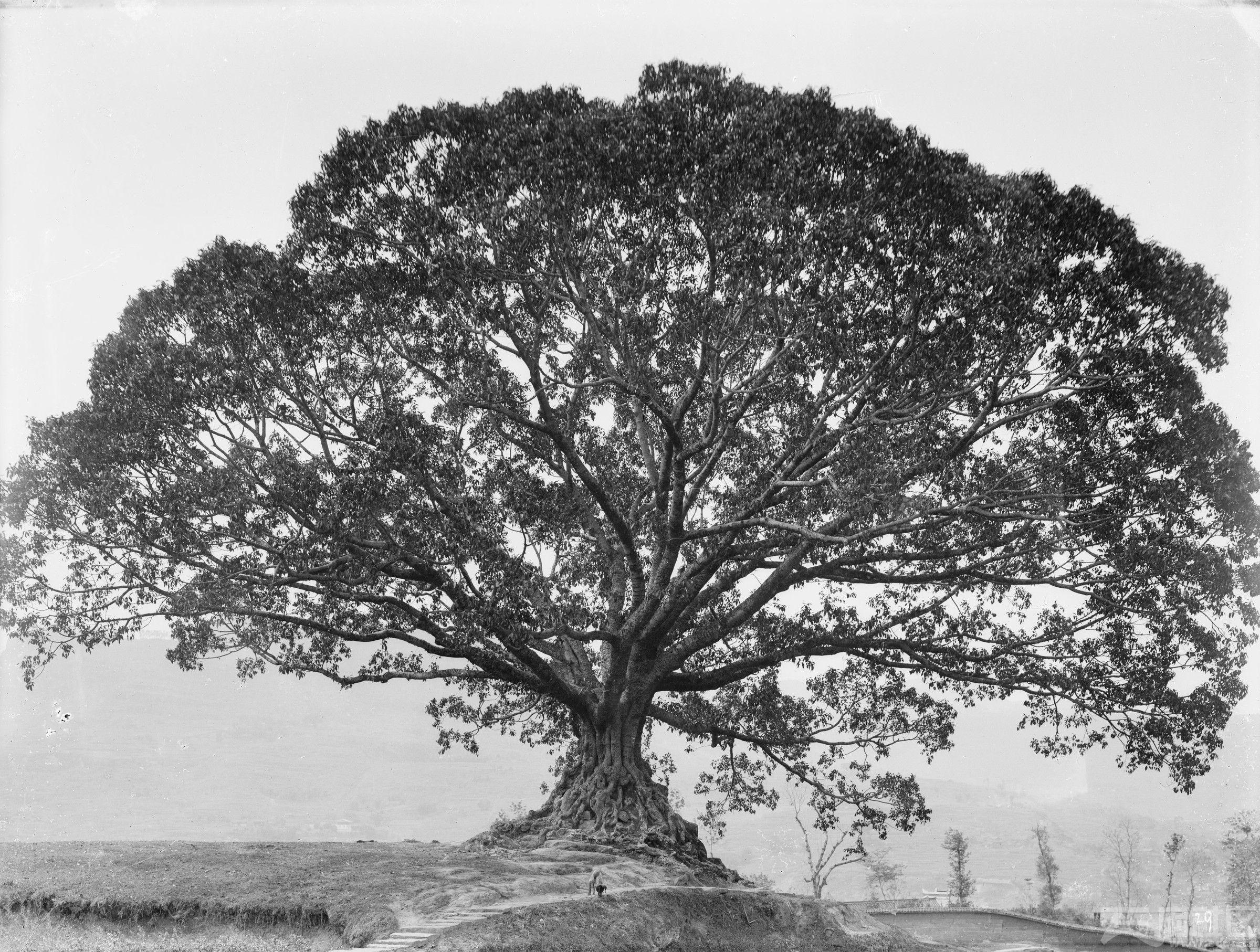 7 江南 黄桷(葛)树 树高15米 粗4.6米 1908.4.1..jpg