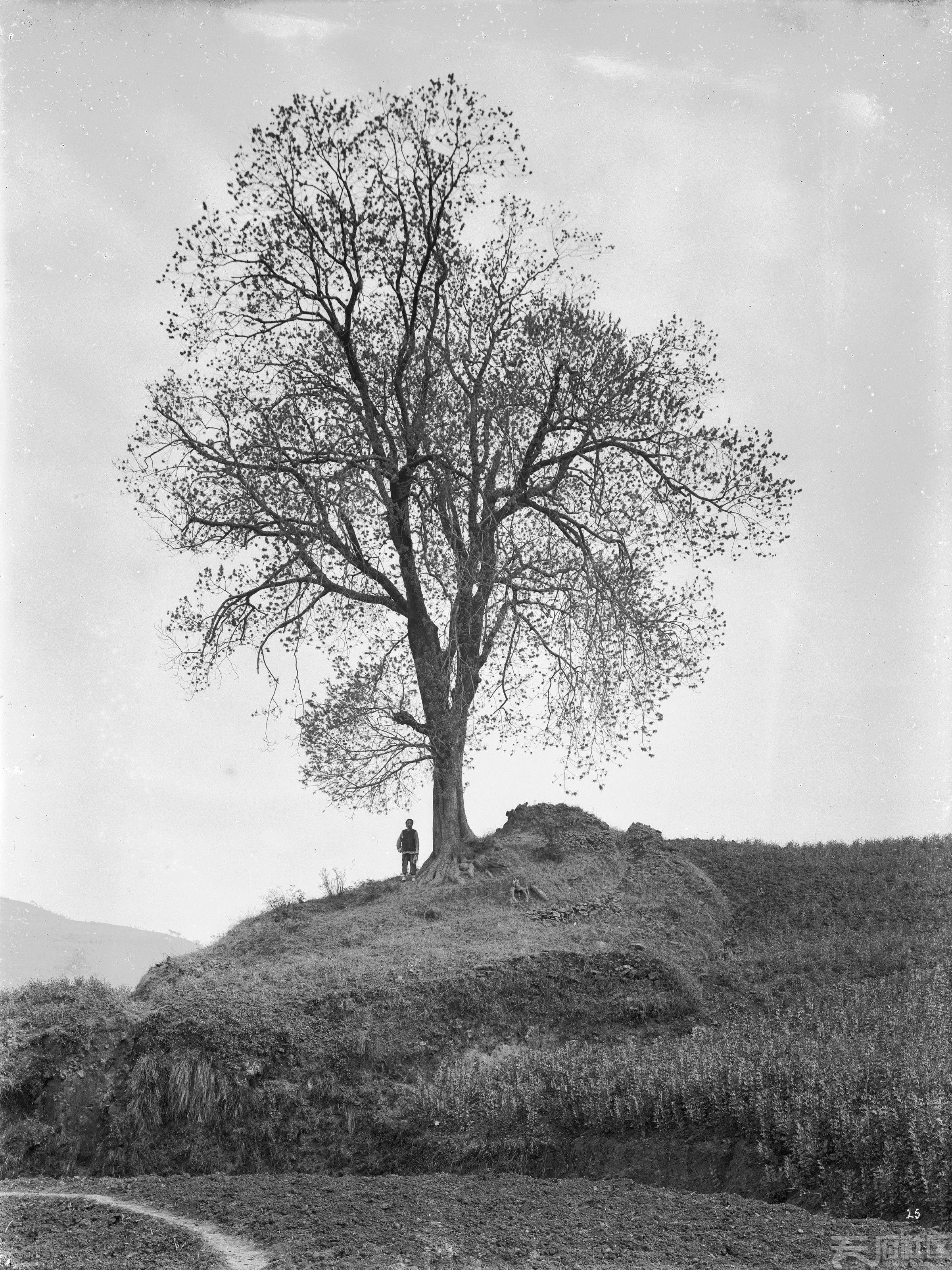 10 大树 1908.4.1..jpg