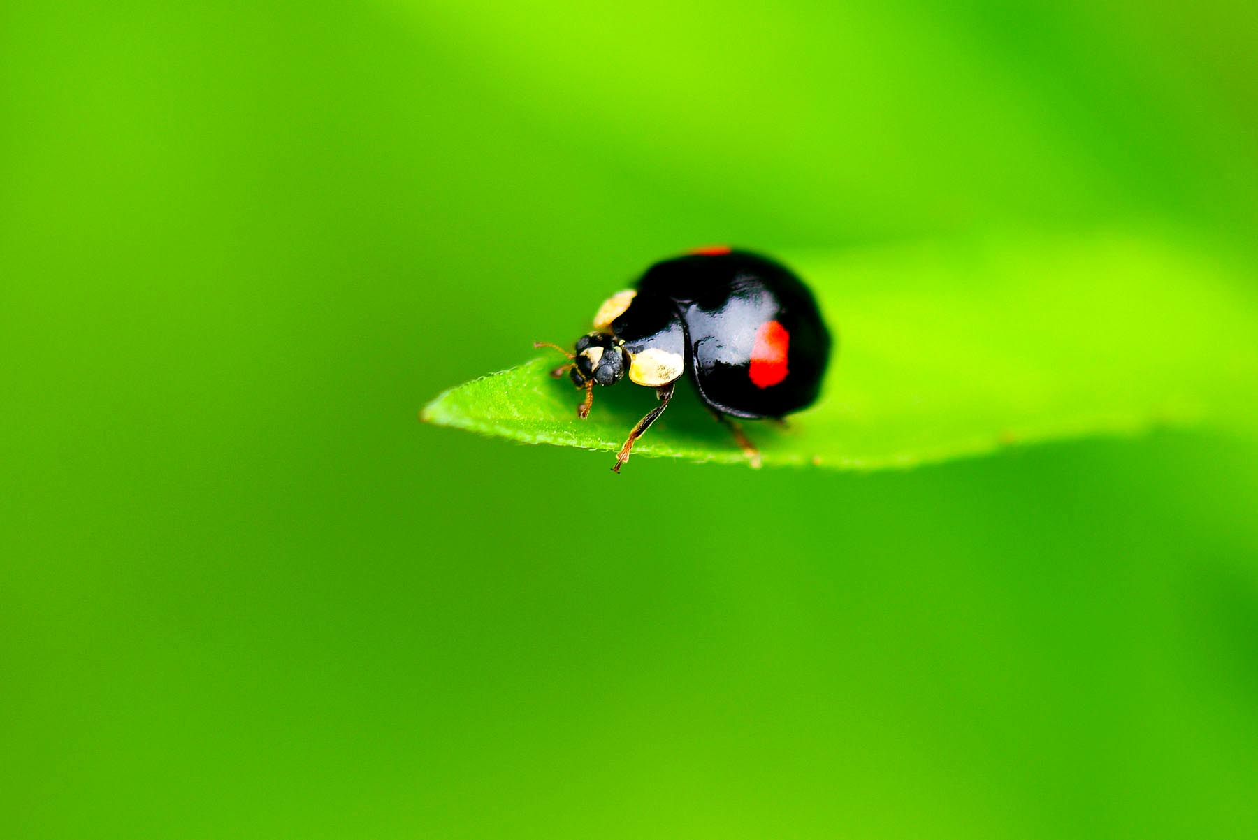 【微距摄影】七星瓢虫