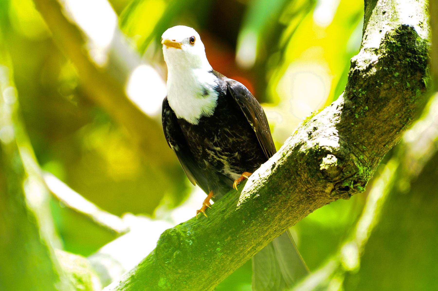 【鸟趣】乖巧的黑短脚鹎