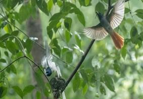 《小绶带鸟在成长》成都植物园-八医院的白寿带之三