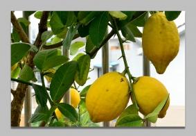 【【  露 台 上 的 柠 檬 树  】】………………