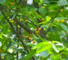 【鸟趣】红嘴相思鸟偷吃红樱桃